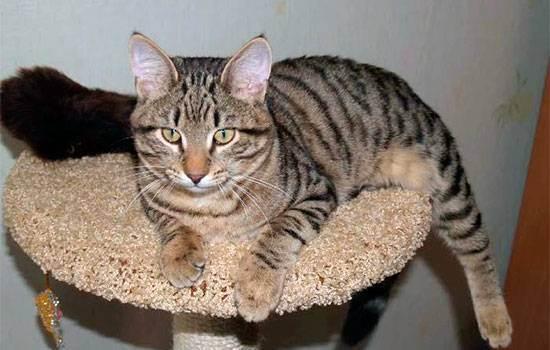 Названия пород кошек с описанием и фотографиями