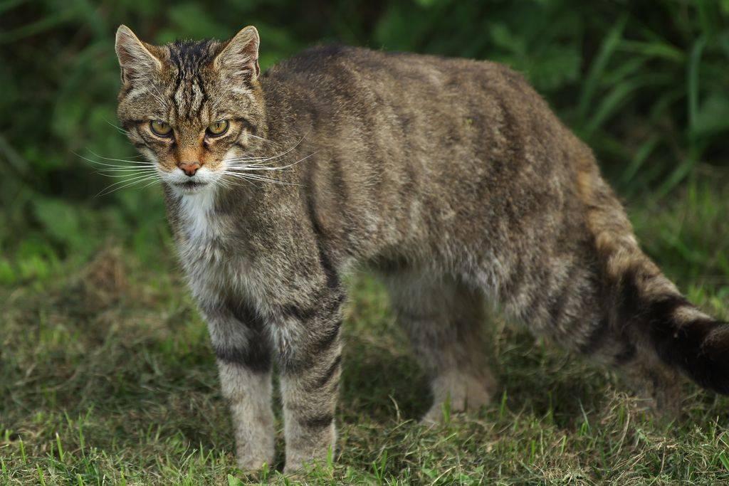 Длиннохвостая дикая кошка маргай: описание внешности и характера, образ жизни и размножение, содержание в неволе и численность вида