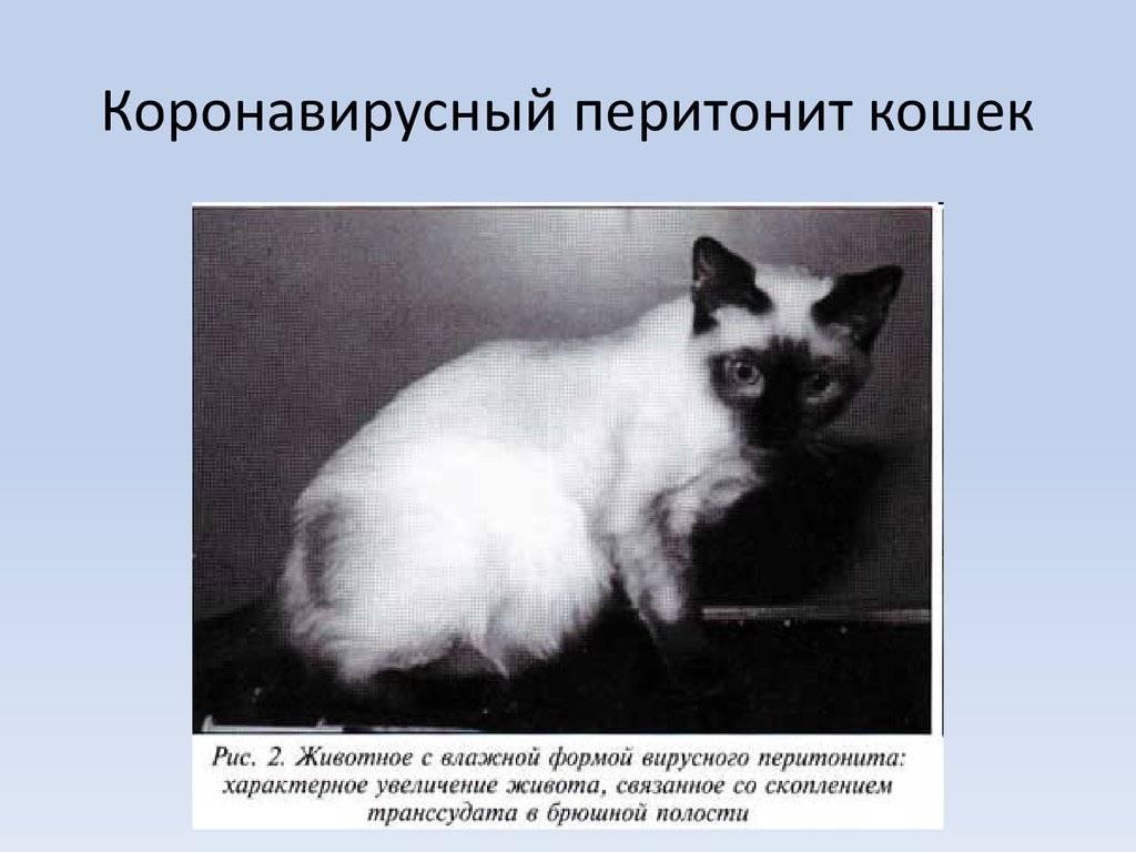Коронавирус у кошек: пути заражения, симптомы и лечение, профилактика