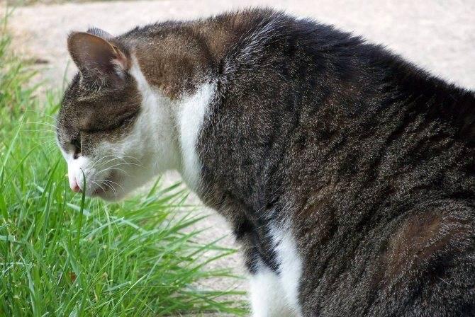 Почему у кота текут слюни изо рта (повышенное слюноотделение)