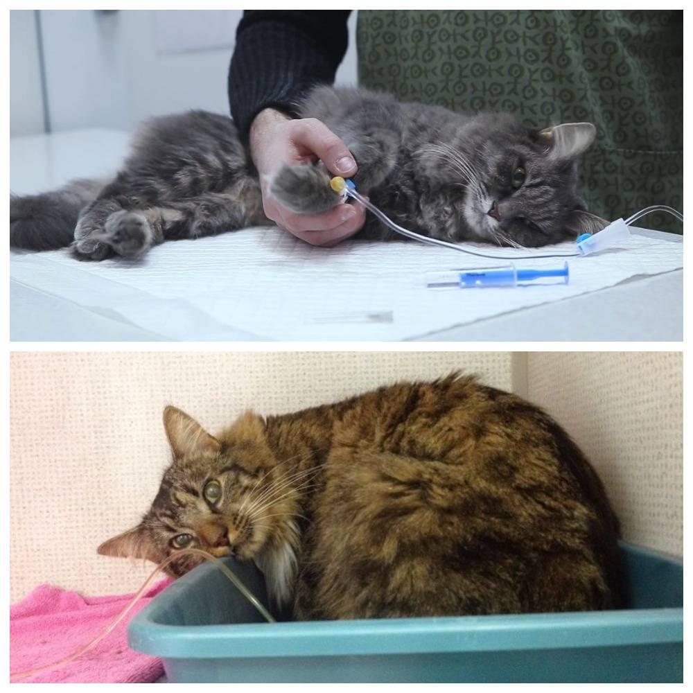 Все о гепатопатии и других болезнях печени у кошки: признаки и методы лечения