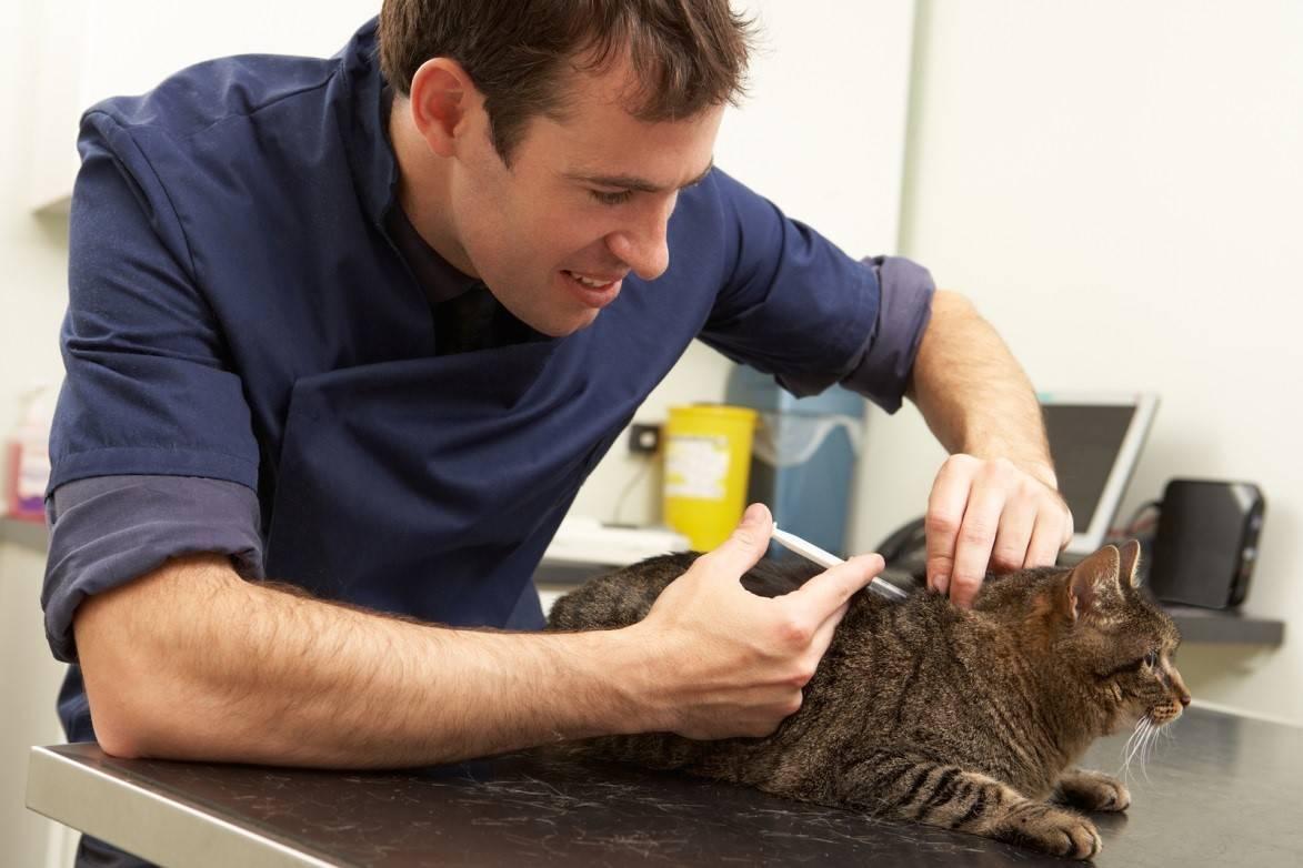 Как сделать укол кошке в холку: внутримышечно и в домашних условиях