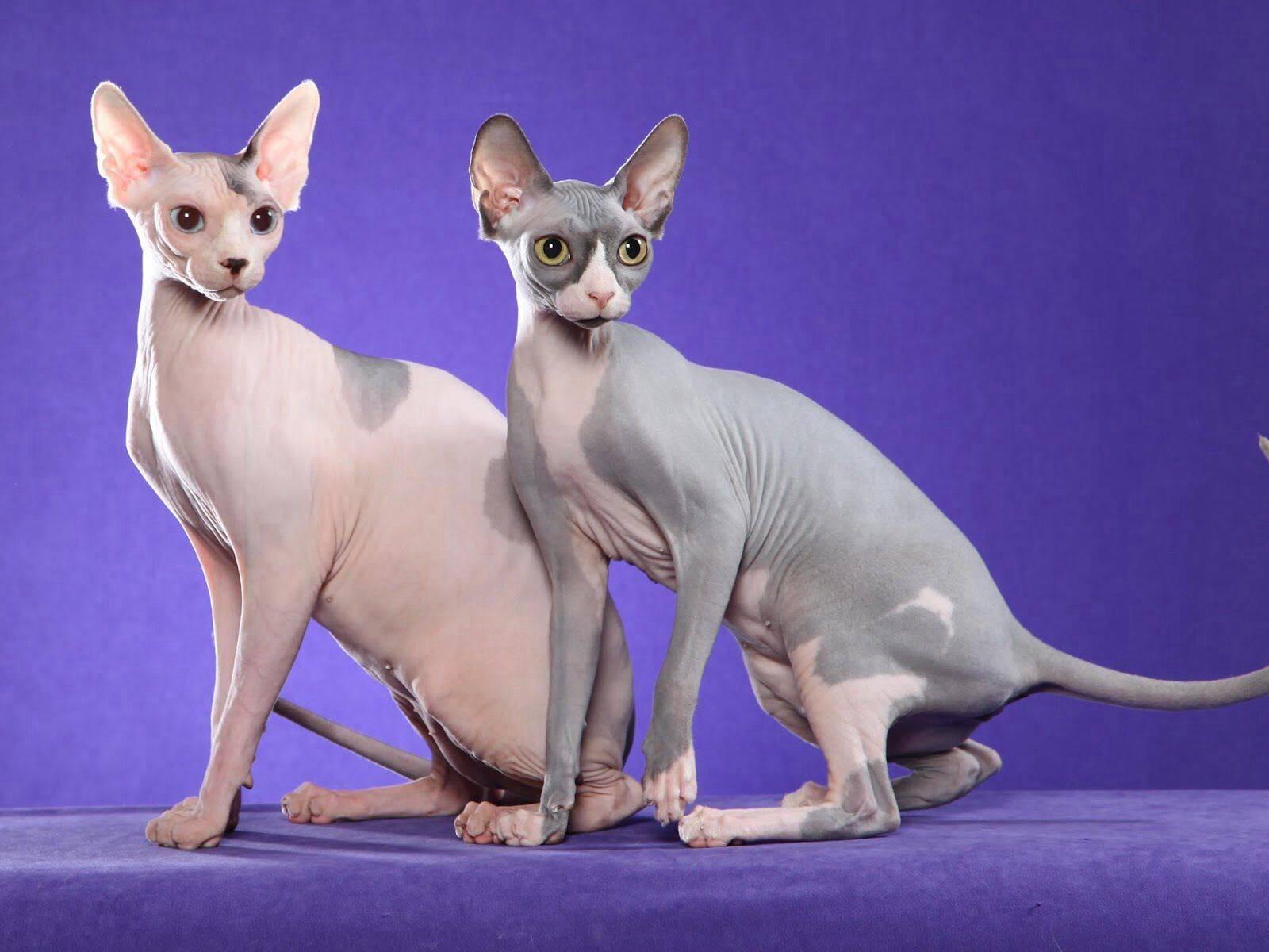 Лысые кошки (46 фото): распространенные породы котов без шерсти. как выглядят и называются черные бесшерстные котята?