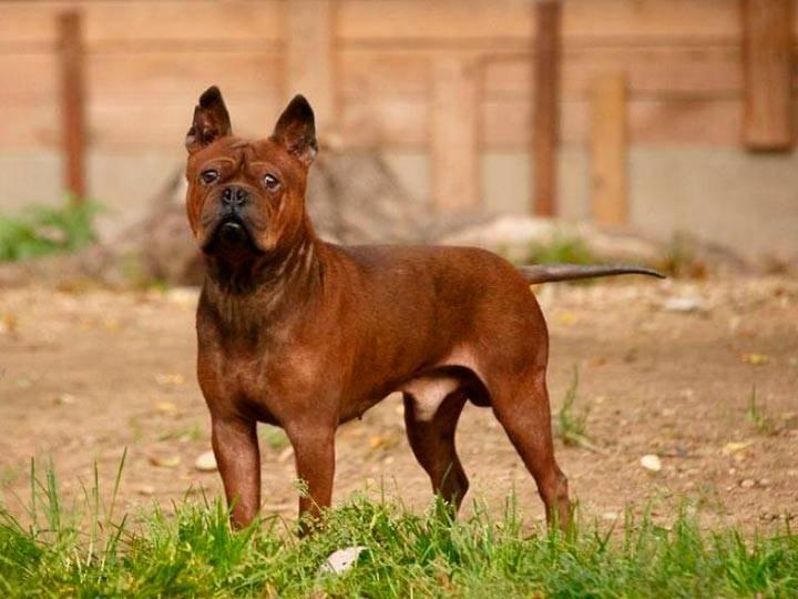Чунцин собака: китайский чунцин, фото собаки, описание породы, уход и содержание