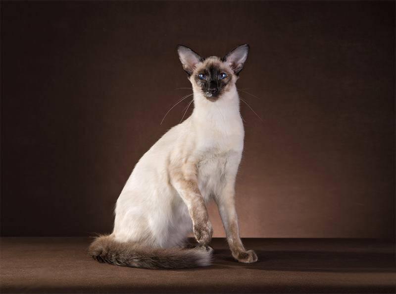 Балинезийская кошка. описание, особенности, уход и цена за балинезийской кошки | животный мир
