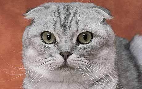 Когда у шотландского котенка поднимаются уши