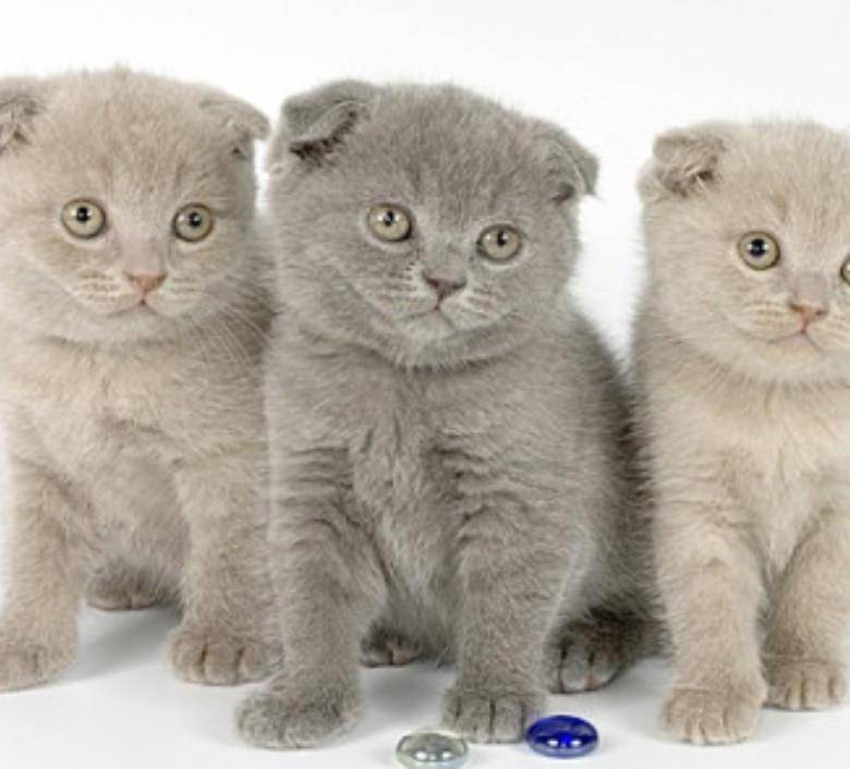 Котёнка какой породы лучше выбрать: «британца» или «шотландца»?