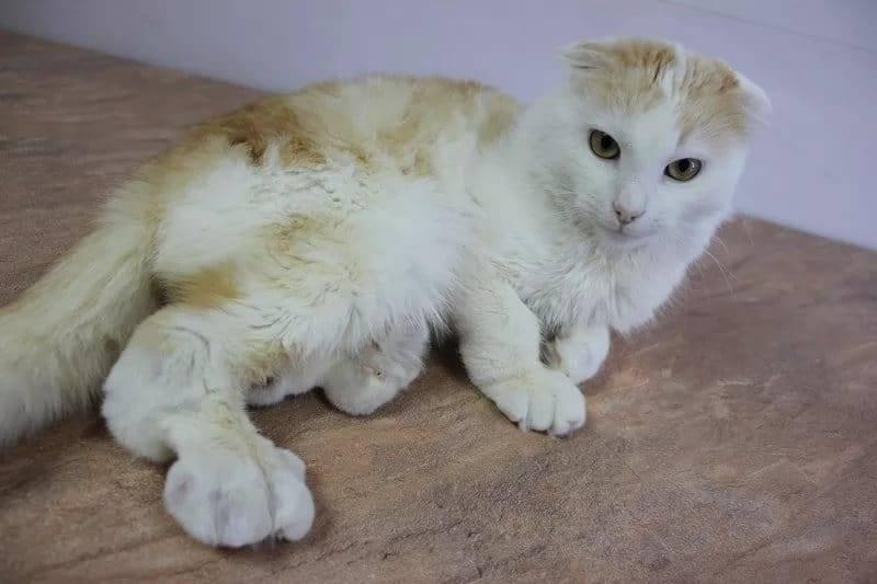Охд у шотландских кошек – как распознать и лечить заболевание?