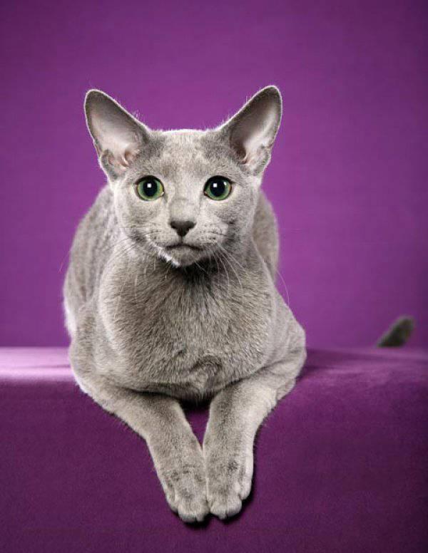 Топ 10 самых дорогих пород кошек в мире
