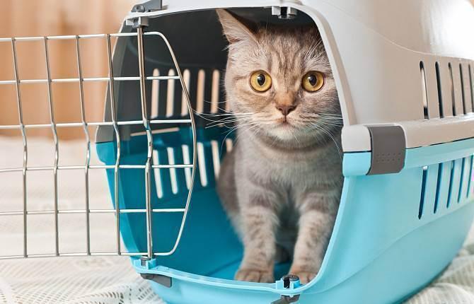 Вывоз кошки за границу: нюансы и особенности