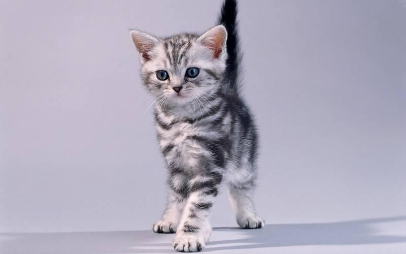 Окрасы британских кошек c фото и описанием, все виды