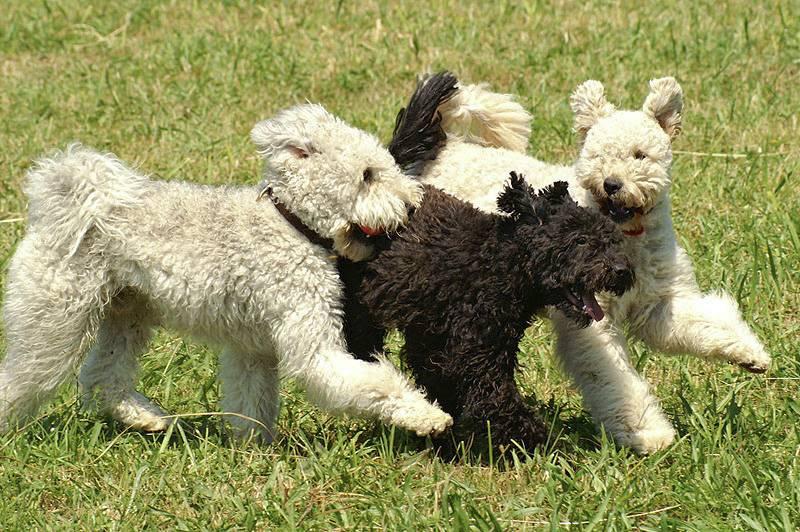 Пуми — собака с неисчерпаемым запасом энергии. пуми: описание породы и характера, уход, фото