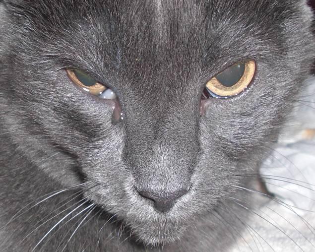 Кошка чихает и слезятся глаза, что может быть причиной, лечение.
