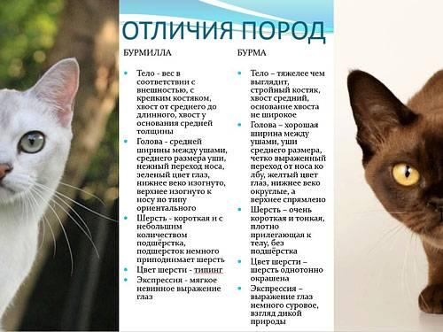 Особенности темперамента и описание кошек породы бурмилла, уход за ними