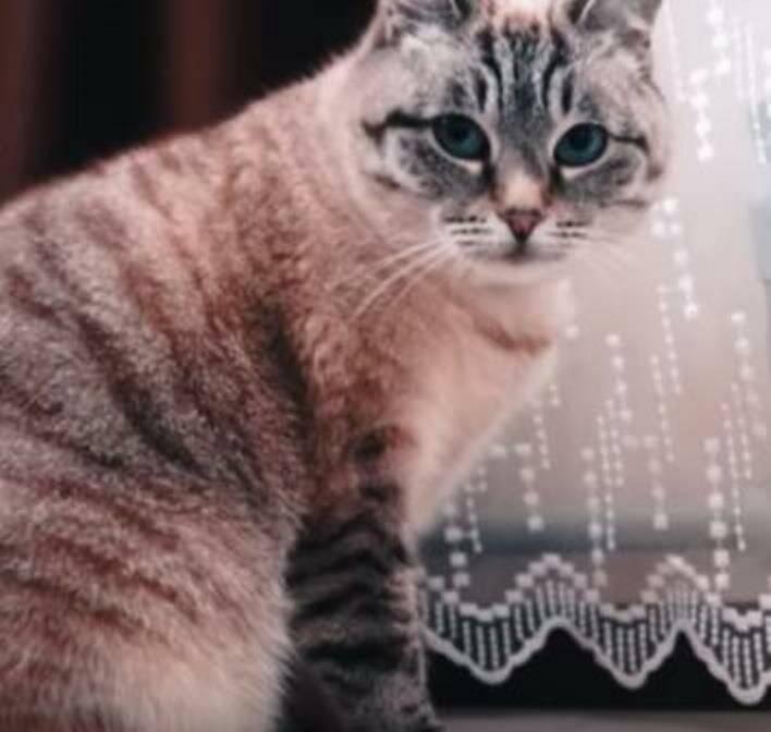 Охос азулес: кошки с васильковыми глазами