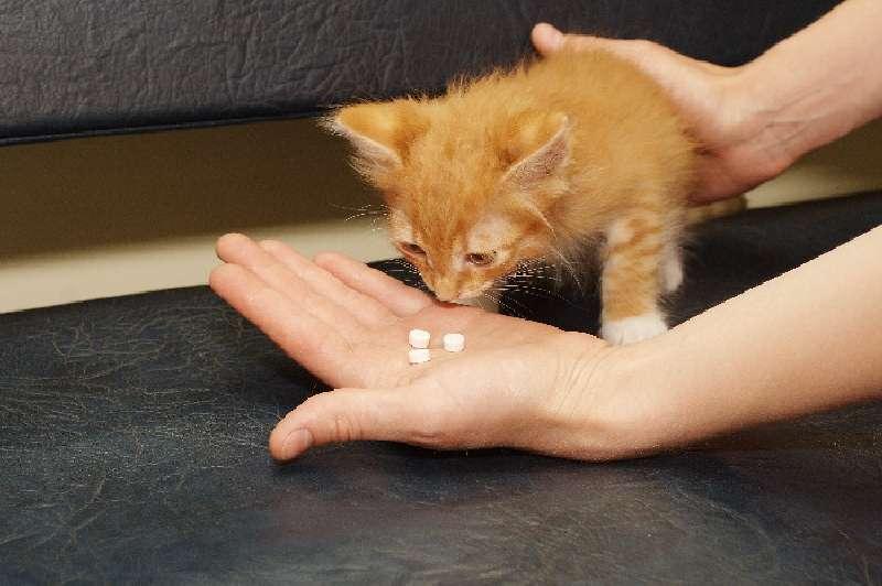 Чумка у котят - пути заражение, симптомы, особенности течения болезни, лечение
