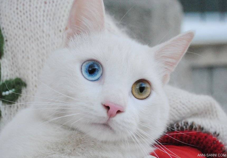 По какой причине рождаются кошки с разными глазами?