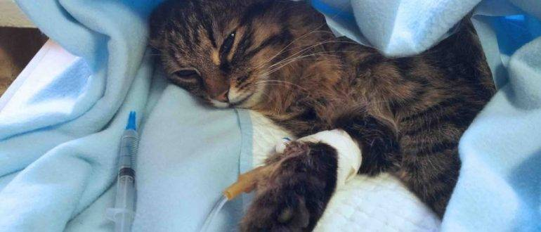 Симптомы и лечение инфекционного перитонита у кошек