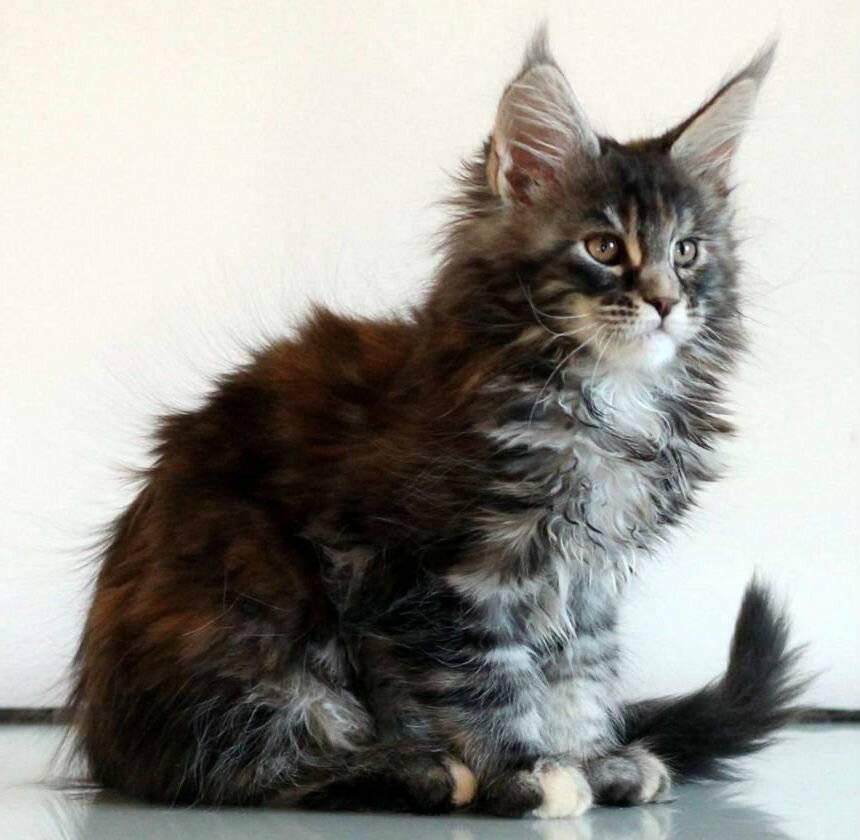 Сколько стоит котенок и большой кот породы мейн кун?