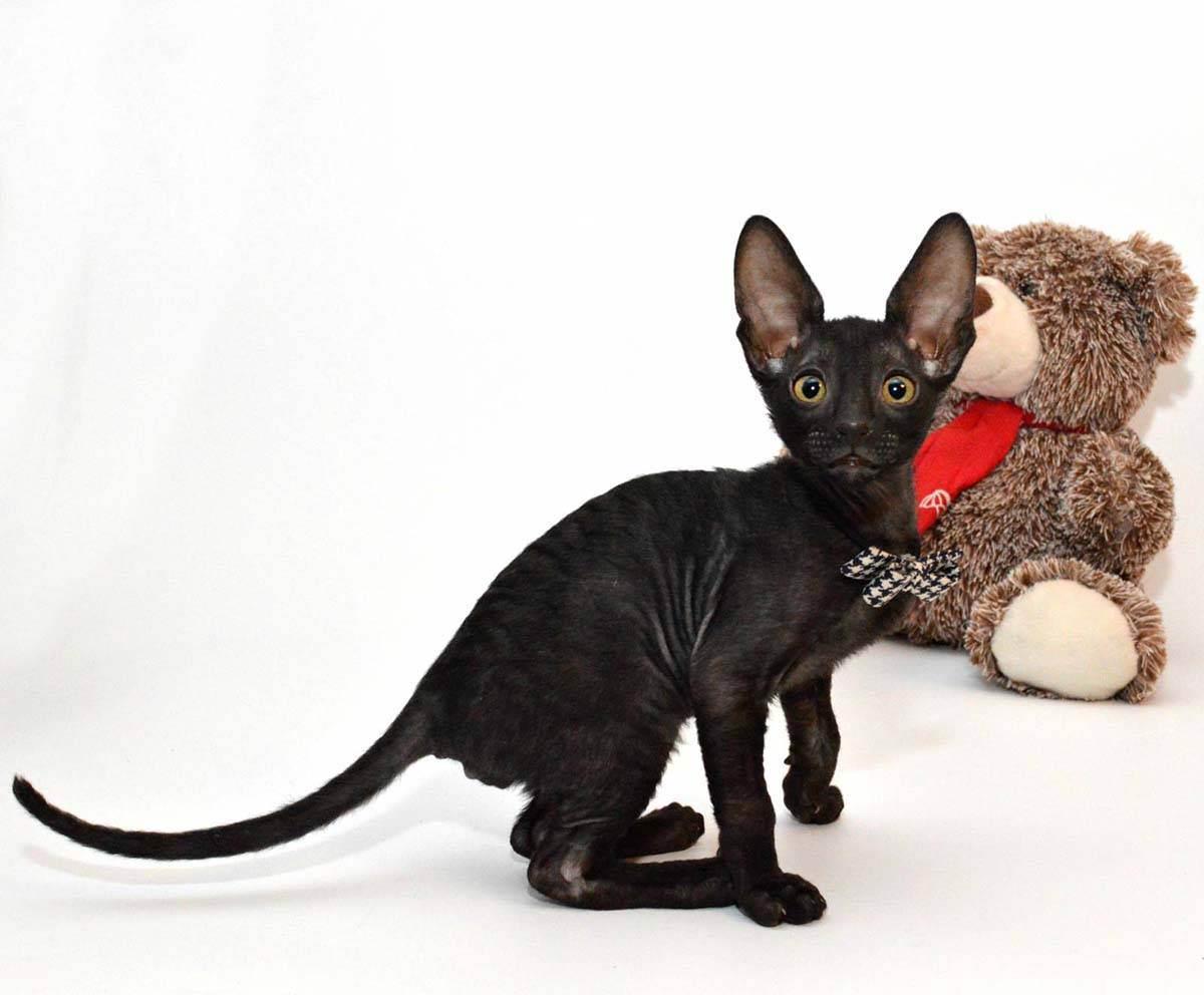 Девон рекс: описание породы, фото, характер, особенности, питание, окрас, цена котят. узнайте больше о девон-рексах в статье!