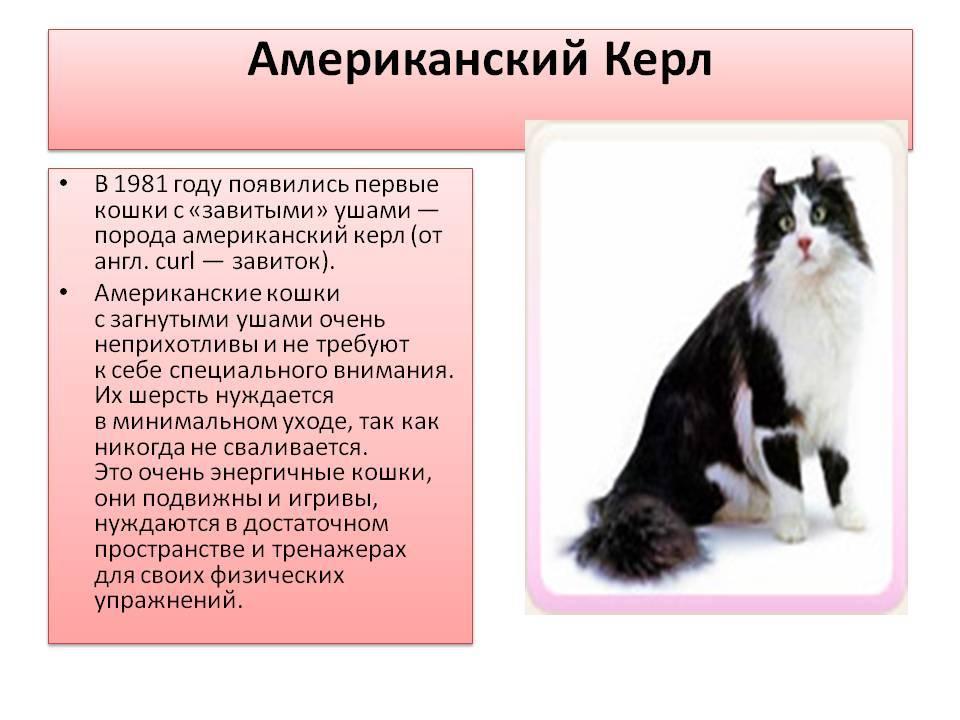 Американский керл: описание породы кошек из сша, характер, уход и содержание