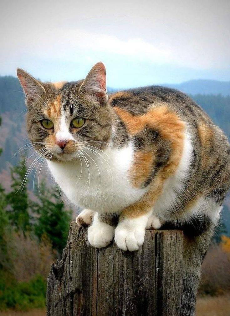Бывают ли трехцветные коты?