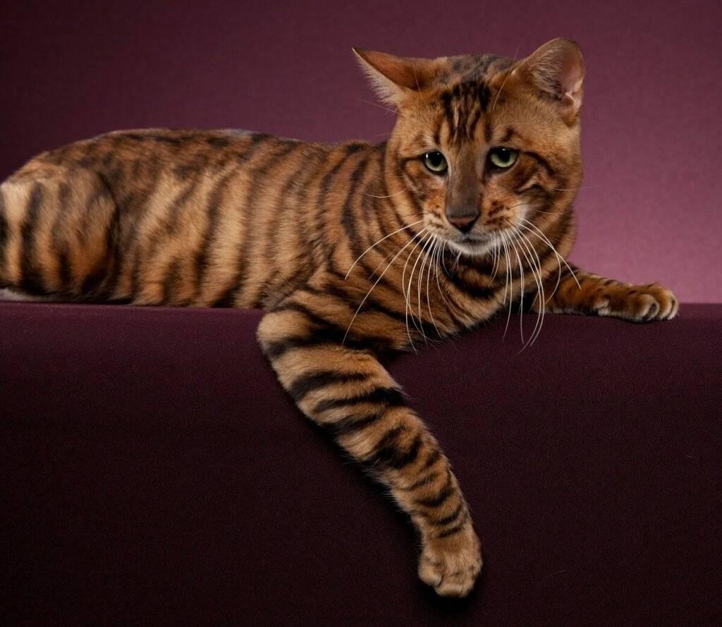 Тигровая кошка: дикие представители семейства кошачьих, породы домашних питомцев с окрасом под тигра