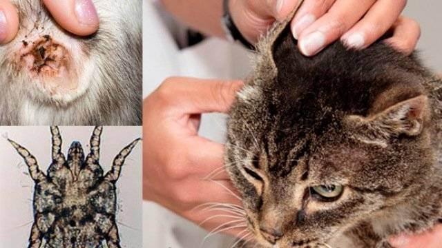 Ушные клещи у кошек (отодектоз): причины, симптомы и лечение