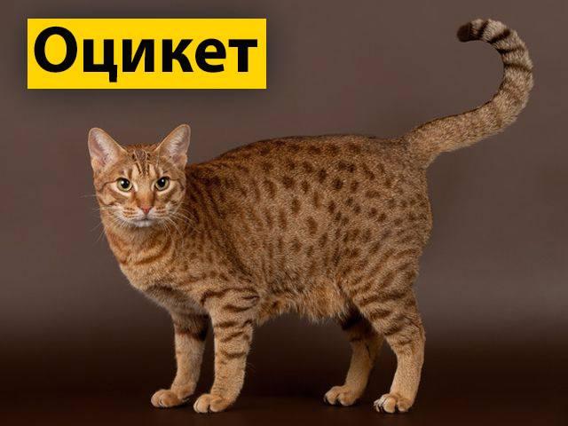 Кошки породы оцикет: дикие снаружи, добрые внутри
