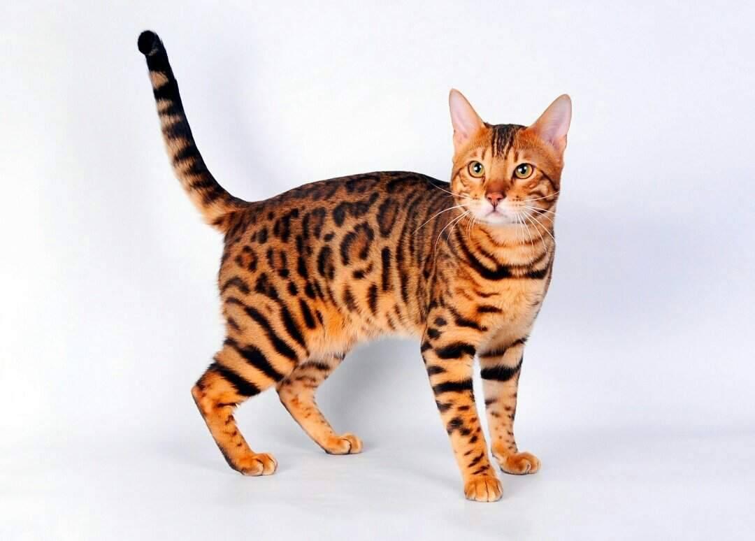 Характеристики бенгалькой породы кошек: физические и поведенческие данные