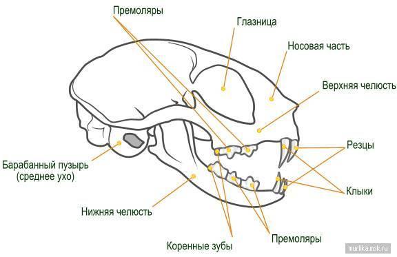 Сколько зубов у кошки: система строения и особенности сколько зубов у кошки: система строения и особенности