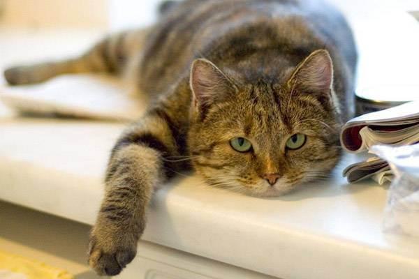 Булимия полифагия или переедание у котов - симптомы, лечение, препараты, причины появления | наши лучшие друзья