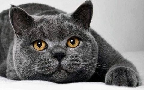 Как кормить кастрированного кота натуральной пищей. корм для кастрированных котов — британцев: правильное питание. особенности рациона кота после операции