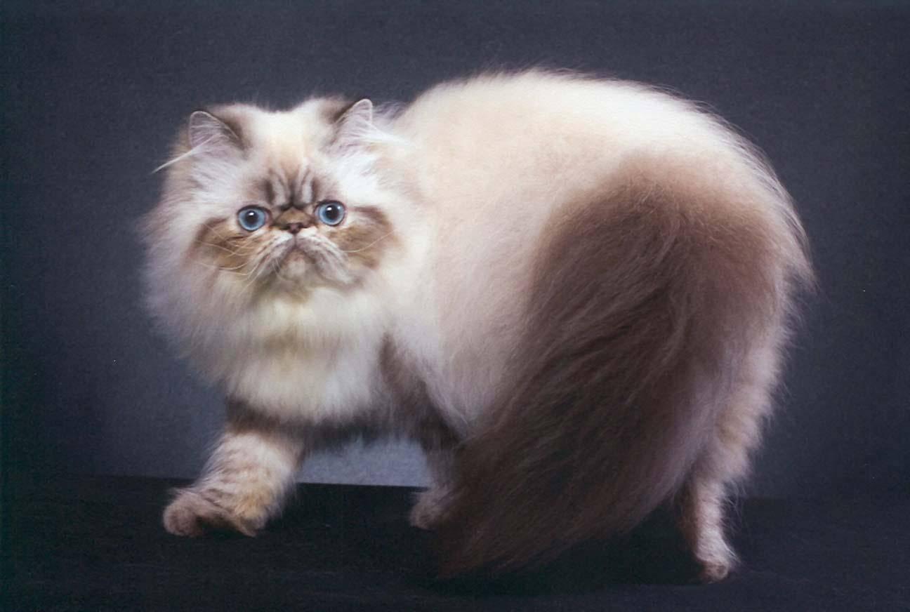 Тайская кошка: сколько живет, описание породы и характера, особенности воспитания тайского котенка