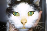 Гепатит у кошек, диагностика, описание симптомов и лечение, видео