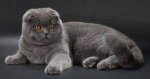Популярные окрасы и разнообразие цветов у шотландской породы кошек