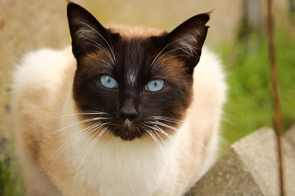 Сиамская кошка: фото, описание породы, характер, здоровье, уход и содержание