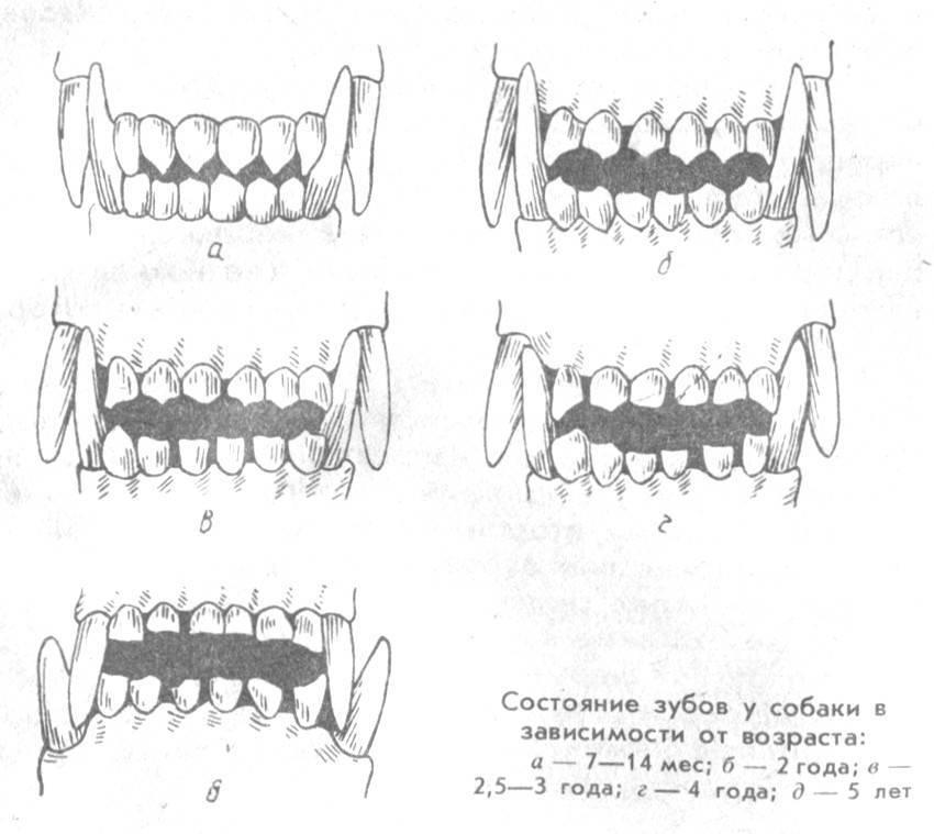 Зубы у кошки: количество, строение и уход за ними