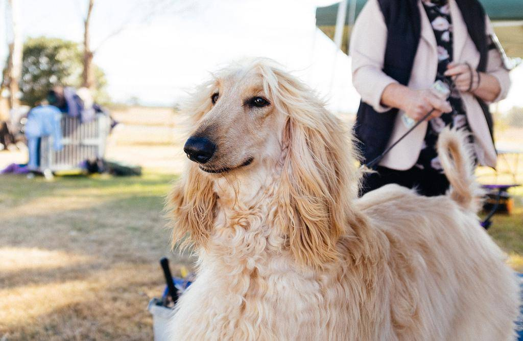 Австралийская овчарка собака. описание, особенности, уход и цена австралийской овчарки | sobakagav.ru