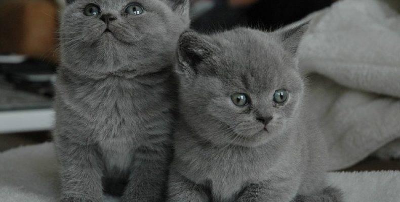 Как ухаживать за британским котенком. как выбирать и воспитывать.
