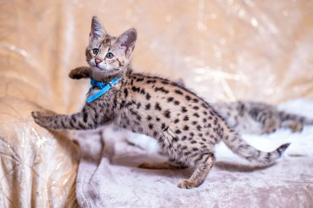 Кошка саванна: стандарт породы с фото, характер животного и особенности ухода