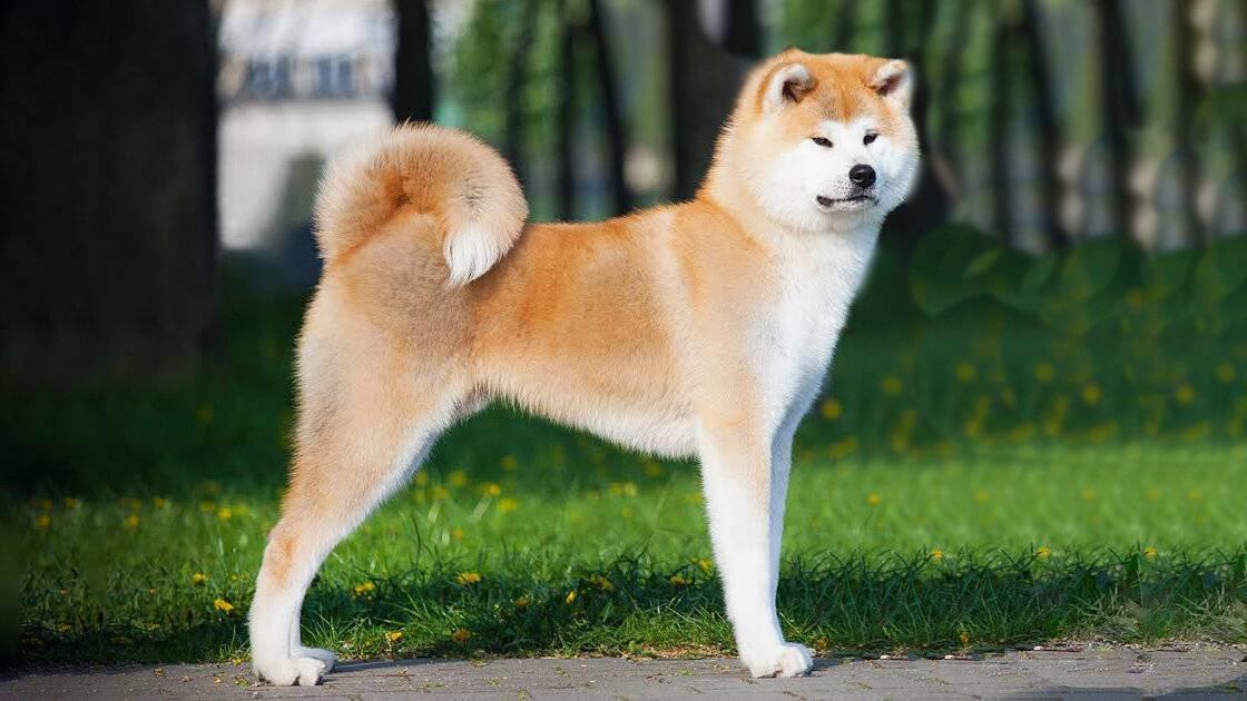Собака акита ину - 120 фото внешнего вида и всех тонкостей содержания!