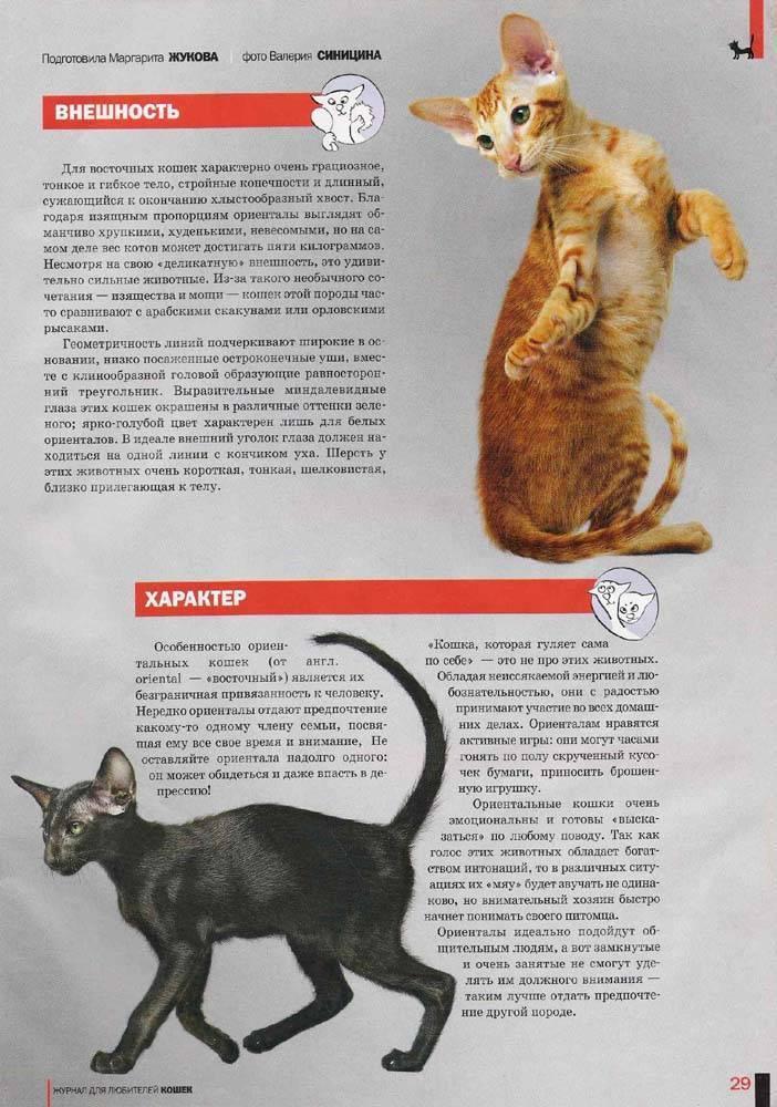 Ориентальная кошка: описание породы, характер и особенности ухода