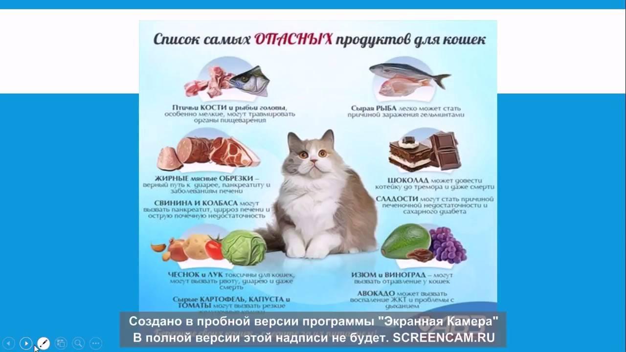 """Чем нельзя кормить кошек. — обсуждение в группе """"кошки""""   птичка.ру"""