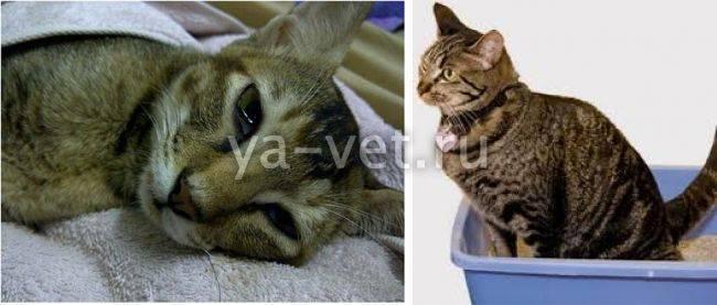 Воспаление кишечника у кошки: формы воспалений, симптомы, лечение, препараты, рацион кормления, профилактика