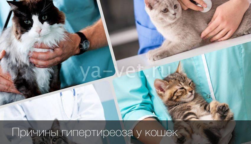 Симптомы гипертиреоза и лечение болезни щитовидной железы у кошек в домашних условиях