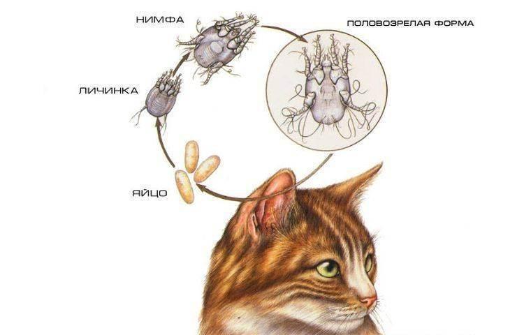 Блохи у кошки – симптомы, последствия поражения, как вывести насекомых в домашних условиях