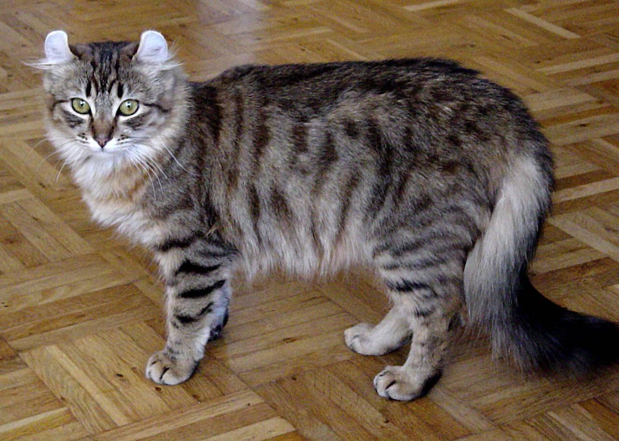 Американский керл: фото, описание породы кошек, характер и отзывы