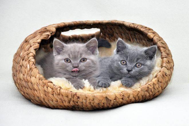 Сколько в норме весит кот: таблица веса кошек по возрасту, нормальная масса тела и причины отклонения от нее