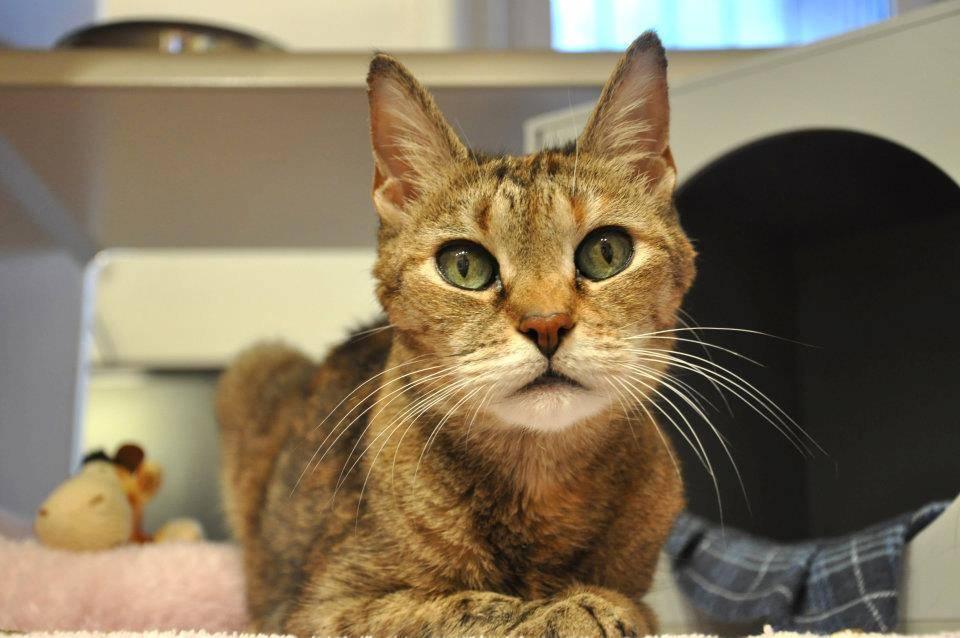 Гипертиреоз у кошек: симптомы и лечение болезни щитовидной железы в домашних условиях